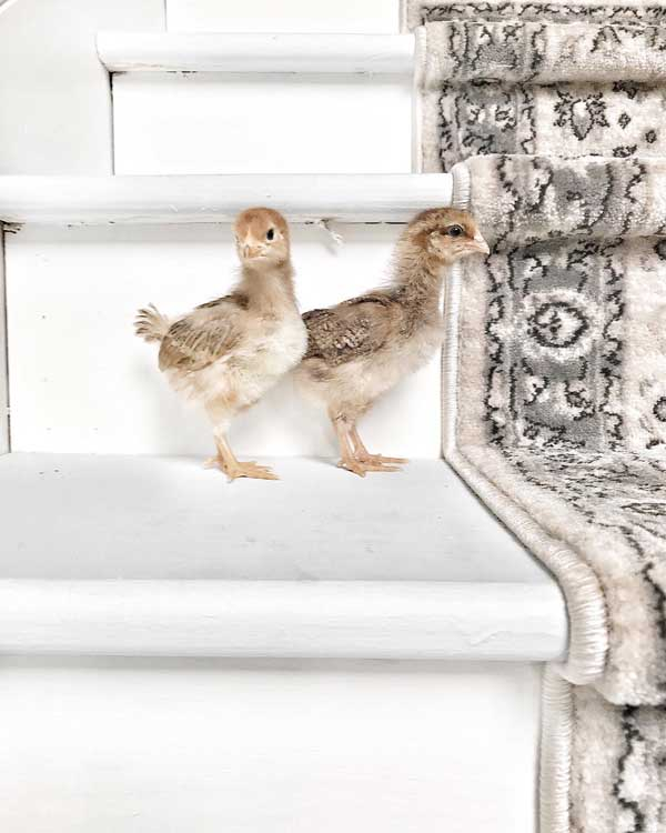 Two baby chicks on white painted stairs